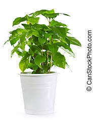 coffee plant in a pot isolated on white background