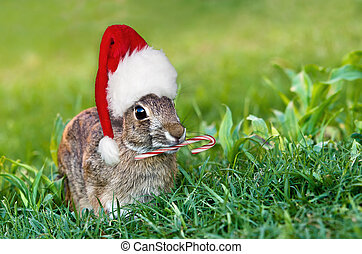 Christmas Cottontail Bunny - Cottontail bunny rabbit with...