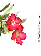 Cambodian Red Flowers Plumeria rubra isolated on white...