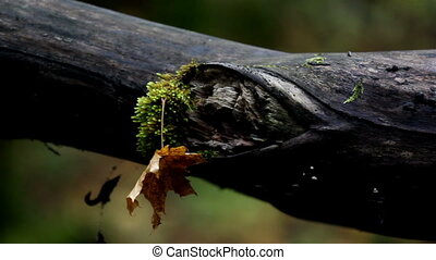 Tree branch with moss and an attached withered leaf that...