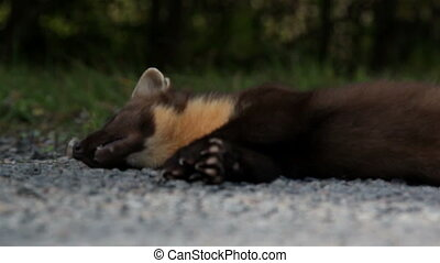Dead European pine marten Martes animal and some grass at...