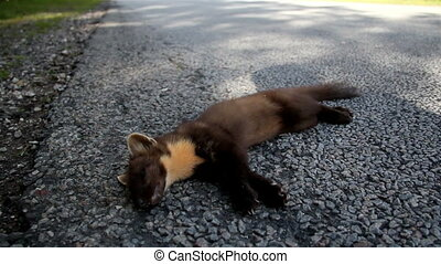 Overhead view of the dead European pine marten Martes animal...