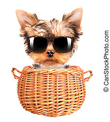 happy yorkie toy with sun glasses in a basket - happy yorkie...