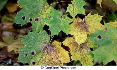 Black spots found on the maple leaves that indicates it is...