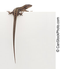 Lizard - Brown lizard hanging over blank posterboard, you...