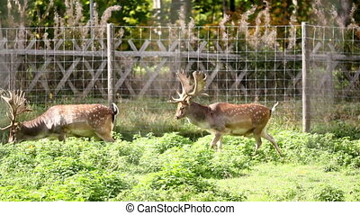 Two adult dears with antlers walking together side by side...