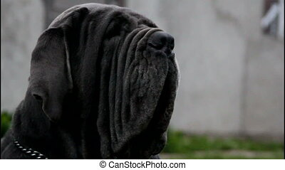 Black neapolitan mastiff - Black neopolitan mastiff that has...