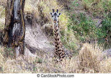 Giraffe Giraffa camelopardalis in the african savanna