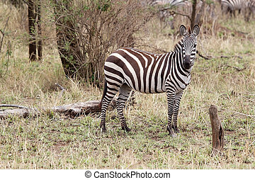 Zebra Equus burchellii in the african savanna