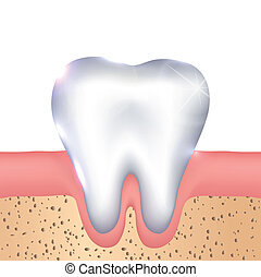 Healthy white tooth, gums and bone illustration, detailed...
