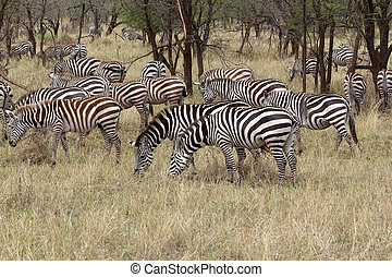 Zebra Equus burchellii - Zebras Equus burchellii are eating...