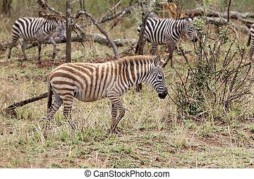 Zebra Equus burchellii is walking in the african savanna