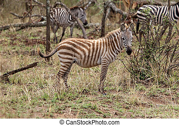 Zebra (Equus burchellii) in the african savanna