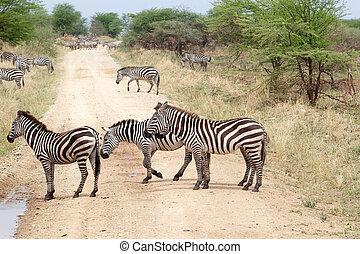 Zebra (Equus burchellii) - Zebras (Equus burchellii) are...
