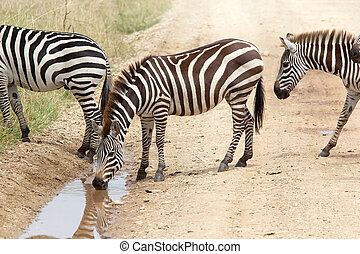 Zebra Equus burchellii is drinking in the african savanna