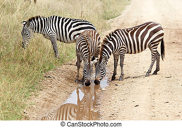 Zebra Equus burchellii - Zebras Equus burchellii is drinking...