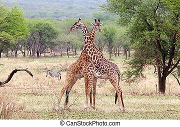 Giraffe (Giraffa camelopardalis) - Giraffes (Giraffa...
