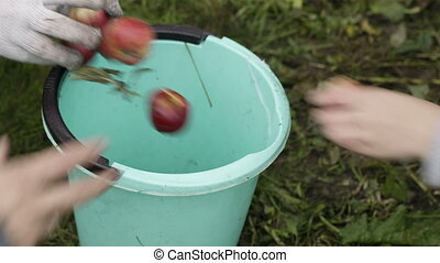 Gathering fresh apples - Close-up of three people gathering...