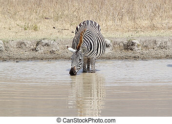 Zebra (Equus burchellii) is drinking in the water hole in...