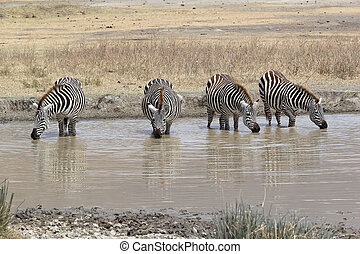 Zebra Equus burchellii - Zebras Equus burchellii are...
