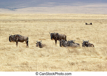 African savanna with wildbeest Connochaetes taurinus