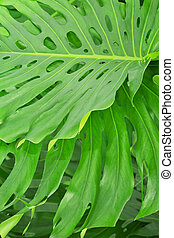 Green tropical leaves - The big green tropical leaves of...