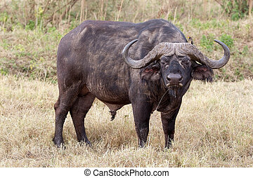 African buffalo Syncerus caffer and yellow billed oxpecker...