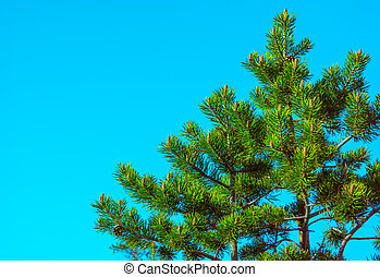 Northern Fir Tree with cones on branches blue sky on background Scandinavian nature