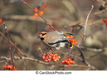 Bohemian Waxwing and red berries - A Bohemian Waxwing is...