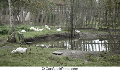 Domestic ducks and geese waddling around a small pond on a...