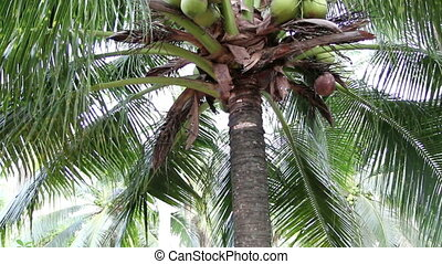 closeup to green coconut fruit trees
