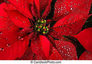 Poinsettia flower - Red poinsettia christmas flower with dew