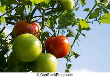 Green and Red Tomatoes on a plant against blue sky