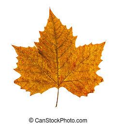 葉, カラフルである, 隔離された, 秋, 背景, 白