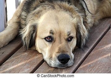 Loyal Dog - Loyal golden retriever mix dog watching his...