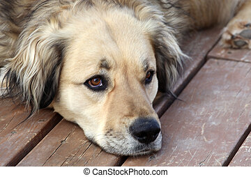 Rescue Dog - Adorable Golden Retriever Mix dog was rescued...