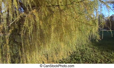 larch branch sway wind - wind strong sways small larch...
