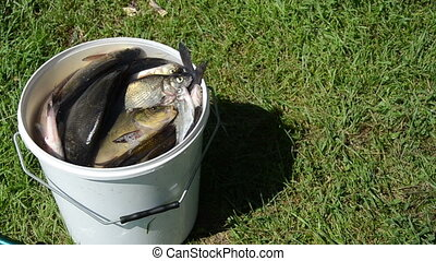 fish catching air - big fishing catch in a bucket with water...