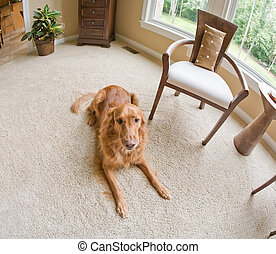 Golden Retriever Inside