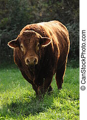 Limousin bull - This is a very muscular and strong Limousin...