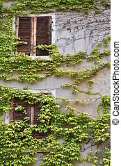 Windows overgrown with green wine - Wall with two windows...