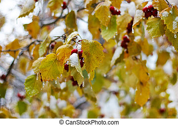 Yellow leaves encased in coating of ice from a winter storm.