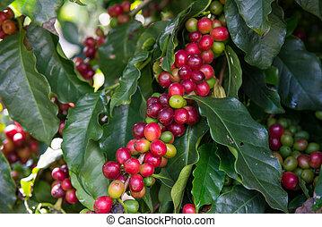 Unripe Coffee beans  on tree  - Unripe Coffee beans  on tree