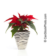 Special Christmas plant Poinsettia over white backround