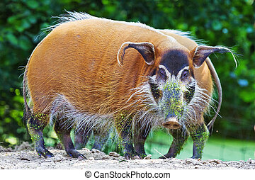 Potamochoerus porcus - The red river hog Potamochoerus...