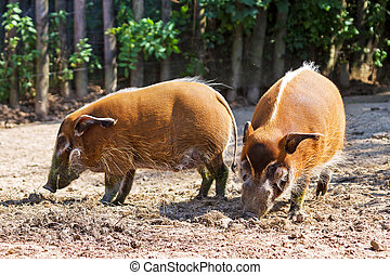 Red river hogs - The red river hog Potamochoerus porcus ,...