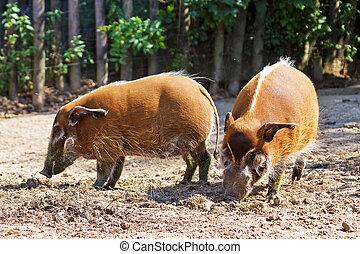 Red river hogs - The red river hog Potamochoerus porcus ,...