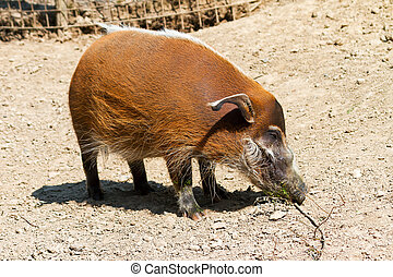 Red river hog standing - The red river hog Potamochoerus...