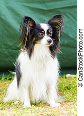 Papillon dog - A small black, white and red papillon dog aka...