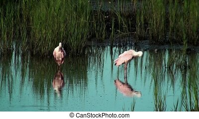 Spoonbills preening in the shallow water